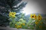 Sunflowers and pine tree